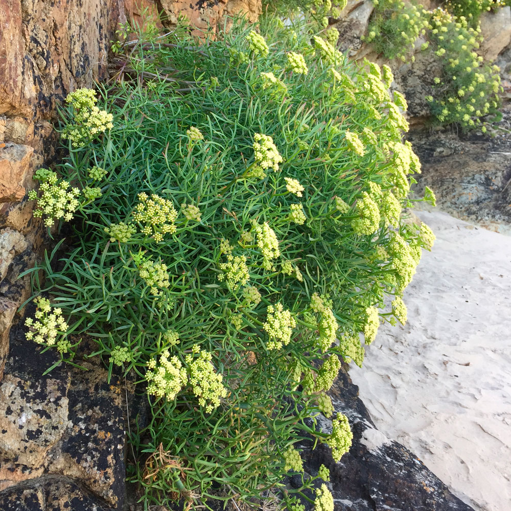 Rock Samphire in Dune