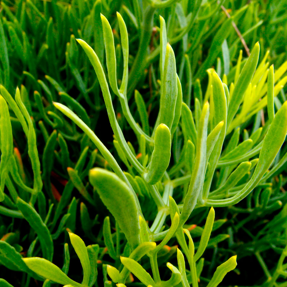 Rock Samphire Plant
