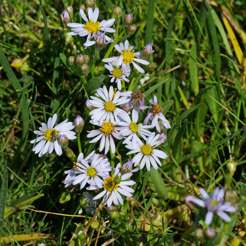 Sea Aster Bed