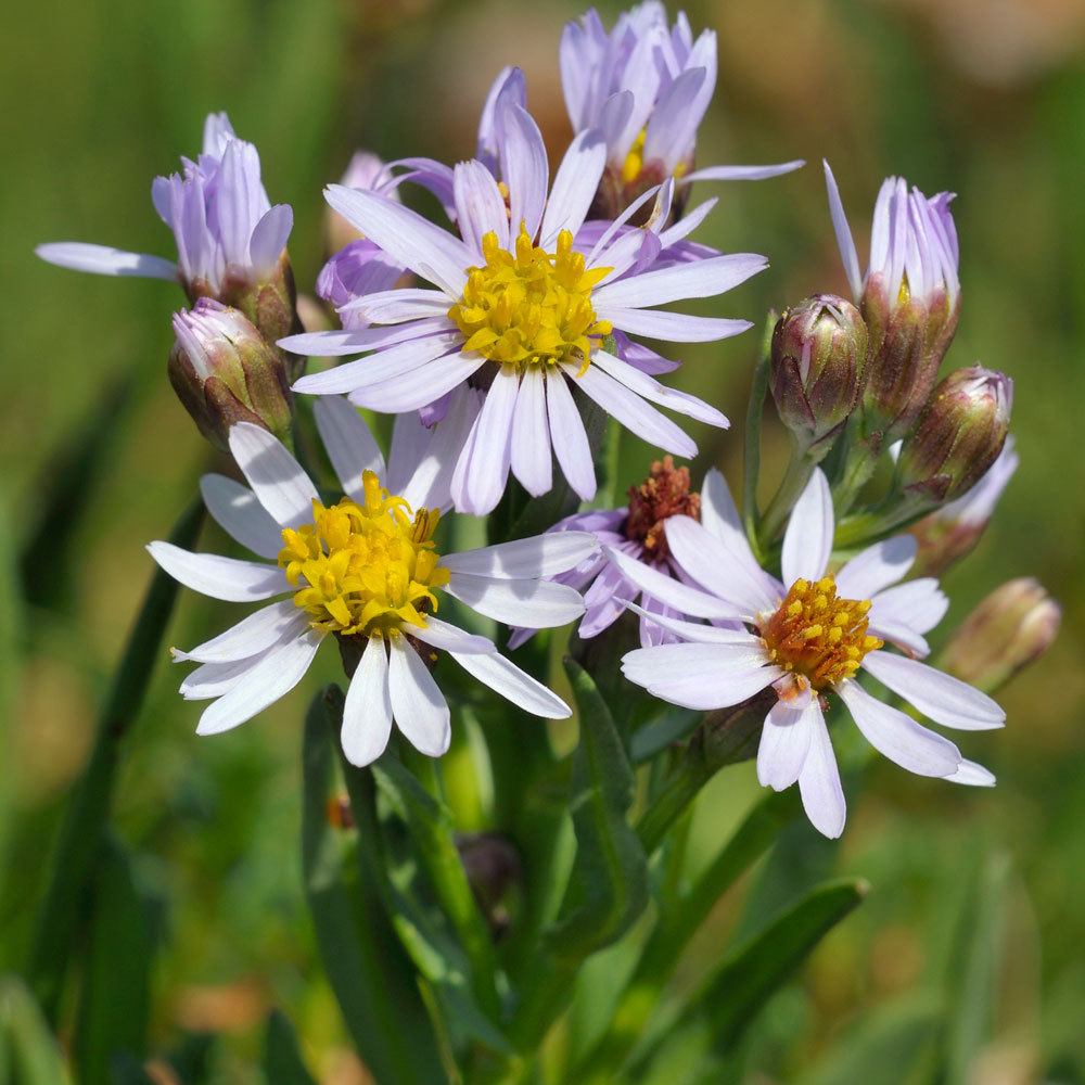 Sea Aster Flowering